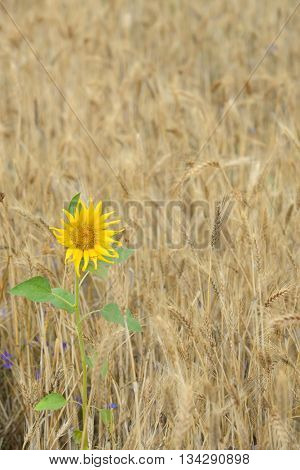Isolated Sunflower in a wheat field