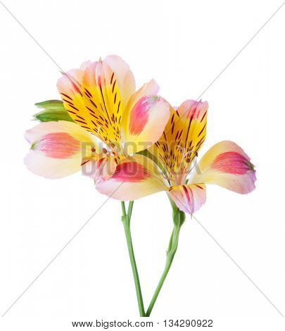 Two flowers of Alstroemeria isolated on white background.