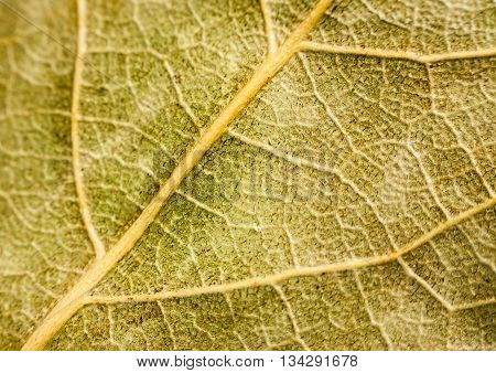 Background Texture Of Dry Bay Leaf Closeup