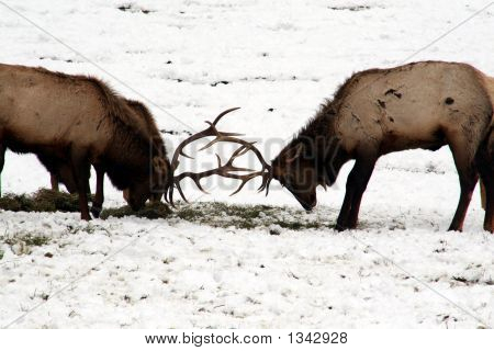 Elk Fighting And Playing