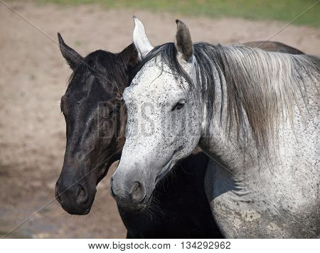 Portrait of black and white (grey) horses