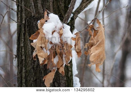 Dry brown leaves on a tree branch in snow close-up photo