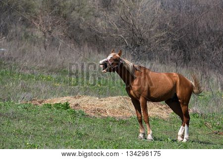 Young chestnut stallion on pasture on a farm