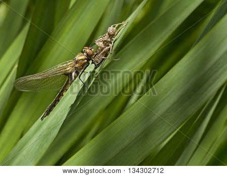 Dragonfly got out of their larvae on the grass.