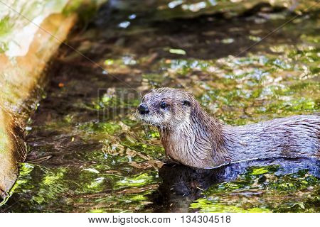 Brown otter looking away from the camera and swimming in the water. Mammals. Lutra lutra.