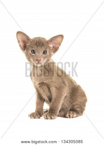 Cute sitting grey blue sitting oriental shorthair baby cat kitten with blue eyes facing the camera isolated on a white background