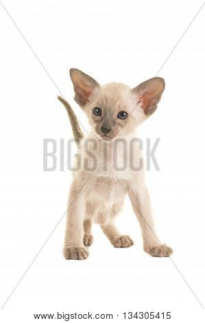 Cute standing seal point siamese baby cat kitten with blue eyes and tail up standing looking to the left isolated on a white background