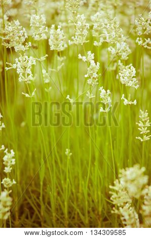 Lavender flower white Lavender flowers in nature with copy space Lavandula