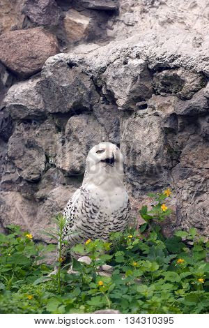 Snowy owl or Bubo scandiacus looks like it smiles
