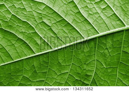 texture of a surface of a leaf of a plant with streaks closeup for a abstract natural natural background or for wallpaper of green color