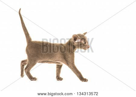 Cute grey blue siamese eastern shorthair baby cat kitten walking with tail up seen from the side walking to the right isolated on a white background