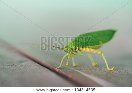 Green bush cricket or long-horned grasshopper licking legs on wooden floor blur bokeh background with copy space