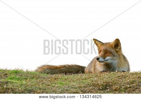 Fox lying down on the grass looking to the left on a white background with space for text
