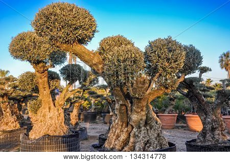 Decorative olive trees with globular crowns offered for sale. Spain. Horizontal.
