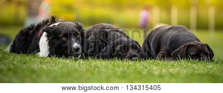 Black dogs posing together on green grass.