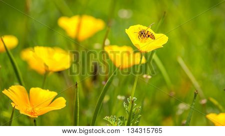 Stunning buttercup yellow flowers of Eschscholzia californica (Californian poppygolden poppy California sunlight cup of gold) a species of flowering plant in family Papaveraceae are bright.