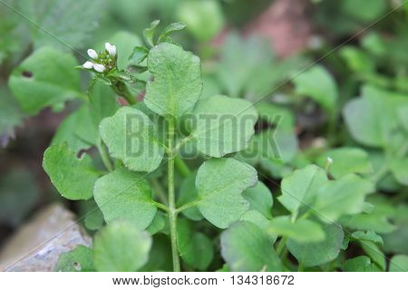 Macro Of Hairy Bittercress (cardamine Hirsuta) Leaves And Blossoms