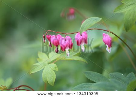 Photo of macro pink flowers spindle tree on green background
