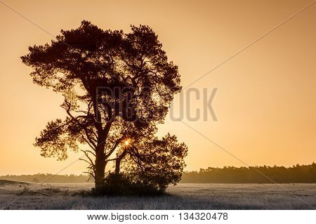 Mighty Pinetree At Veluwe Netherlands During Winter Sunrise