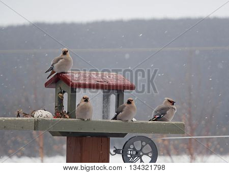 group of bohemian waxwings on feeder during a snowfall