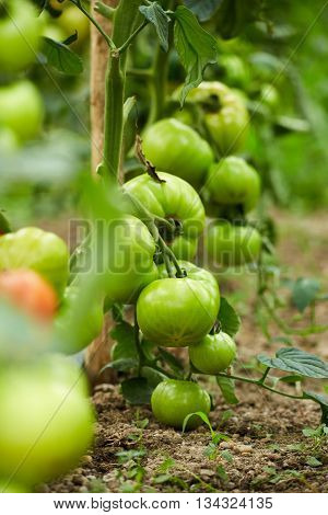 Tomatoes On Vines In A Greenhouse