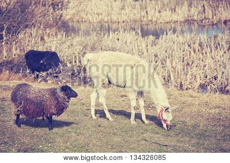 Vintage Toned Lama And Sheep On A Natural Pasture.