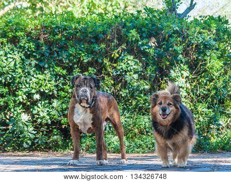 German Boxer Dog And Mongrel Dog