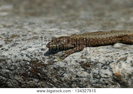 A common wall lizard Podarcis muralis looks calmly and attentive in the direction of the observer. He is at the edge of a grey and white mottled crude stone fading into a blurred background. May, North Italy.