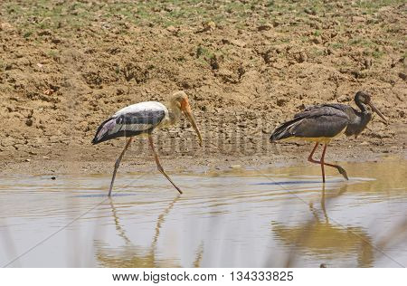 Painted Stork and a Black Stork on Patrol in a waterhole in Kanha National Park in India