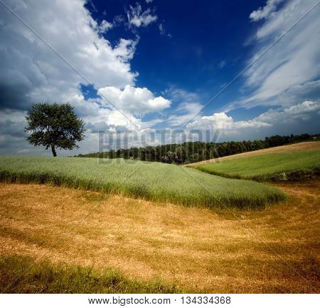 Lonely tree on fields of partially mown rye near Kazimierz Dolny Poland