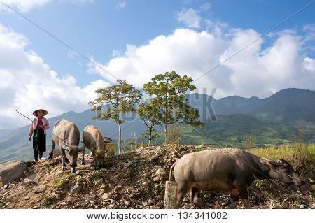 YEN BAI, VIETNAM, March 22, 2016 ethnic Hmong woman, highland Yen Bai, raising buffalo