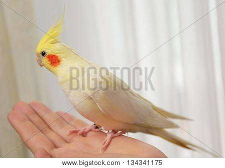 Yellow cockatiel on female hand