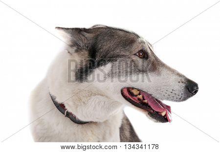 Dog isolated on white