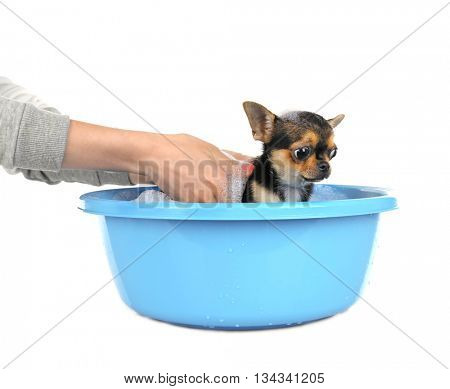 Female owner washing her puppy in bath isolated on white