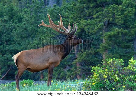 Full body Bull Elk standing in the trees