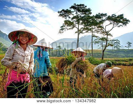 YEN BAI, VIETNAM, September 12, 2015 farmer groups, ethnic Thai, highland Yen bai, in the rice harvest