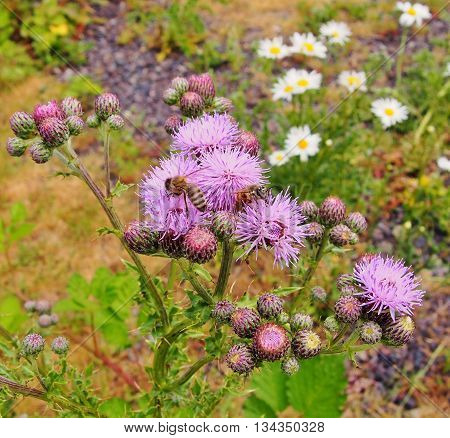 Purple Thistle and Honey Bees, flowers, prickly flowers
