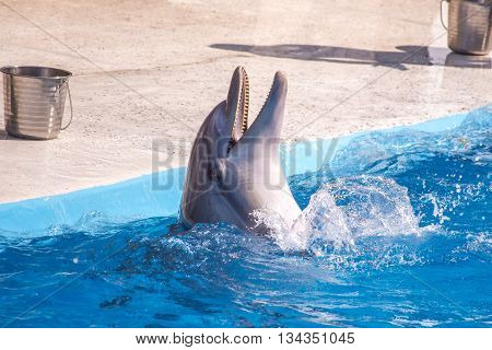 bottlenose dolphin in blue pool water, Batumi.