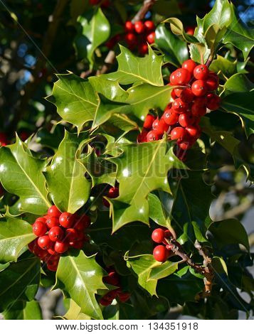 Closeup view of Christmas Holly Tree with clusters of red berries and green leaves on a perfect cold clear winter day.