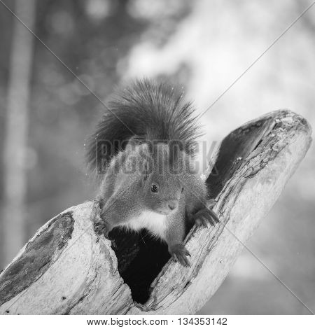 red squirrel standing on hollow tree trunk while snowing