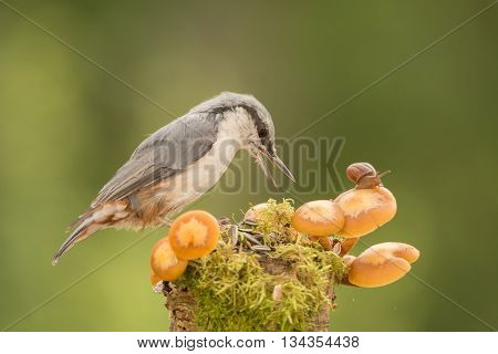 nuthatch standing with snail and mushrooms in sun light