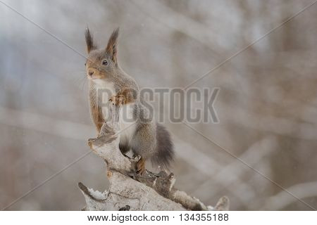 red squirrel standing on tree trunk while snowing