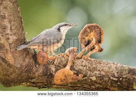 nuthatch standing with mushrooms in sun light