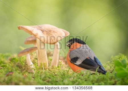 male bullfinch standing with mushrooms in sun light