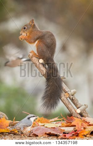 red squirrel on stairs with nuthatch beneath