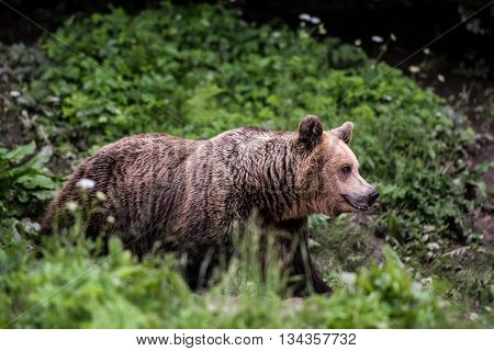 Brown bear mother with blurred grass background.
