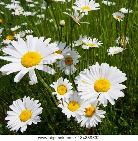Field of Daisies, Daisies isolated, White Flowers