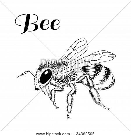 Without color picture of bee on white background. Vector illustration insect. Sketch style.