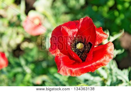 Red poppy flower blossoming solitary one top view
