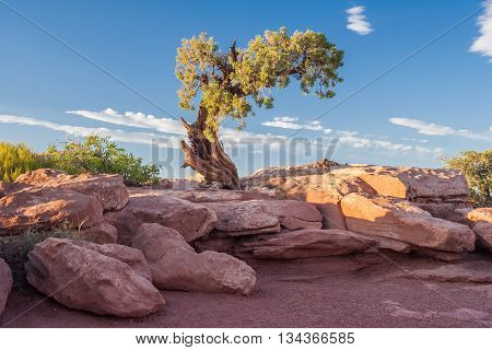 Lonely Tree At Canyonlands National Park, Utah,  Usa